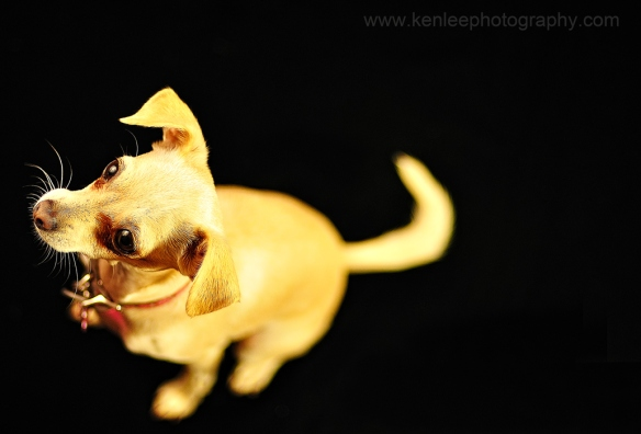 Stephanie the chihuahua-original photo