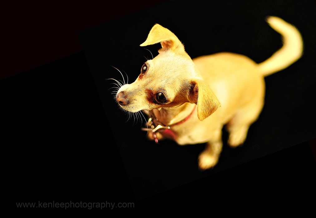 Stephanie the Chihuahua - alternate photo
