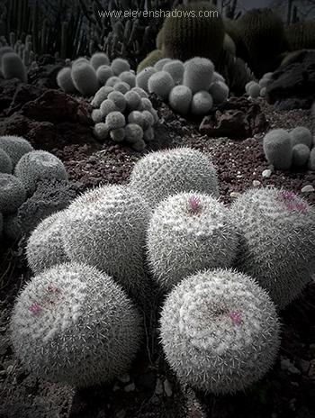 Fuzzy Cacti