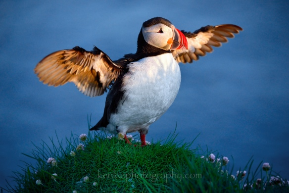 2016-06-14_2334_01_kenlee_iceland_westfjords_latrabjarg_puffins_wings-open_1-640sf56iso1000-1000px